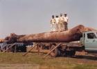 A maior tora já transportada fazenda Macuco